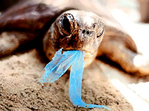 Sea turtle eating a plastic bag...