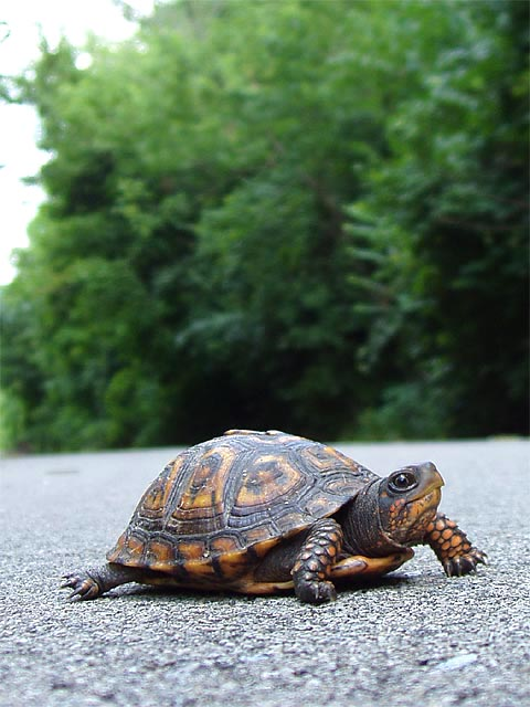 Turtle, traversing the Cardinal Greenway Trail